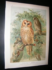 Naumann & Keulemans C1890's Folio Bird Print. Brown Owl 5-6